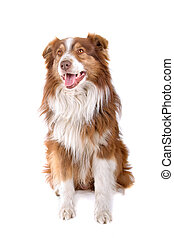 Australian shepherd dog sitting and sticking out tongue, ...