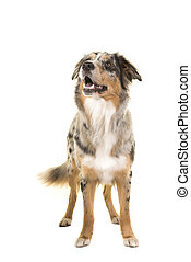 Australian shepherd dog standing looking up with open mouth isolated on a white background