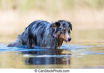 Australian Shepherd dog stands in a lake