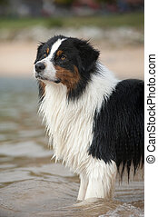 Australian shepherd in a lake