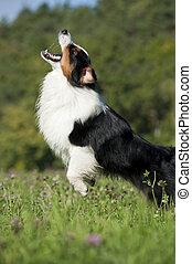 Australian shepherd in a summer meadow