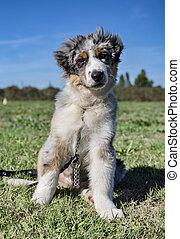 australian shepherd in obedience