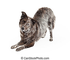 Australian Shepherd Mix Breed Dog Bowing - A talented...
