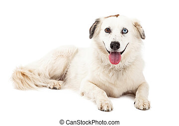 Australian Shepherd Mix Breed Dog Laying - A happy...