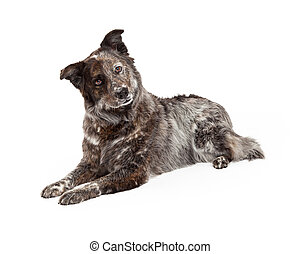 Australian Shepherd Mix Breed Dog Laying - An attentive and...