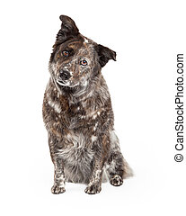 Australian Shepherd Mix Breed Dog Sitting - A curious...