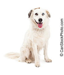 Australian Shepherd Mix Breed Dog Sitting - A very obedient...