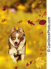 Australian shepherd mix breed running in autumn - Australian...