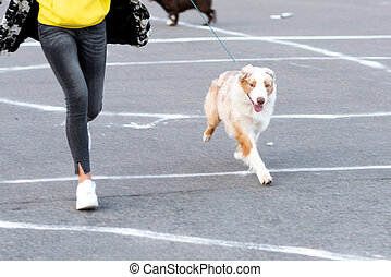 Australian Shepherd on a leash, next to the owner.