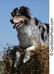 Australian Shepherd on a straw bale