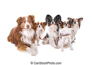 Australian shepherd, papillon dogs