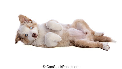 Australian Shepherd Puppy lying on your back