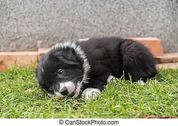 australian shepherd puppy playing in the garden