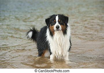Australian shepherd stands in a lake