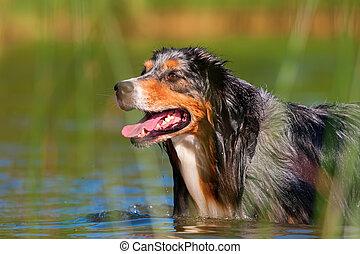 Australian Shepherd walking in a lake