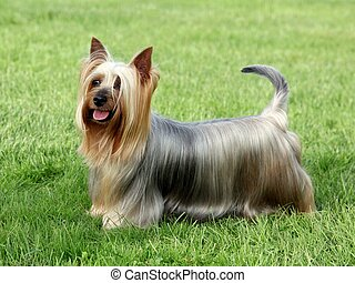 Australian Silky Terrier on the green grass lawn