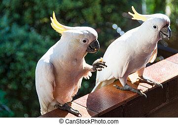Australian sulphur crested cockatoo birds eating on the ...
