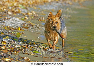 Australian Terrier with stick