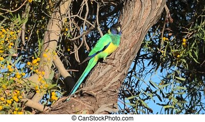 Australian Twenty-eight Parrot - One Twenty-eight Parrot, ...