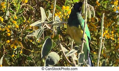 Australian Twenty-eight Parrot - Twenty-eight Parrot, ...