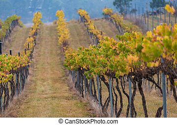Australian vineyard in autumn, winter season