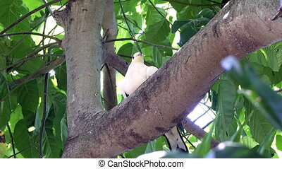 Australian White-headed Pigeon Columba leucomela perching in branches among palm leaves.