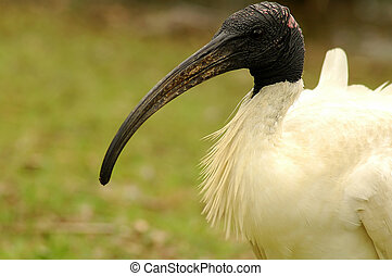 AUSTRALIAN WHITE IBIS - detail photo of australian white...