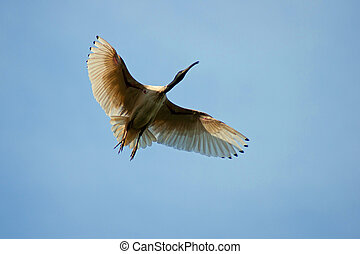 Australian white ibis in flight - An australian white ibis...