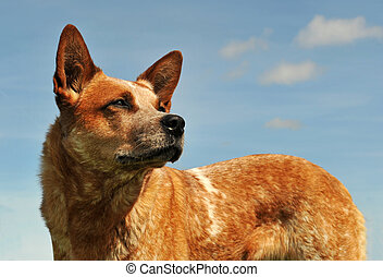 australiano, cão, boiada