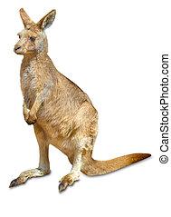australiano, canguru