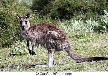 australiano, cinzento, canguru
