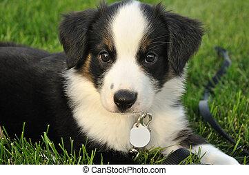 australiano, cucciolo, (aussie), pastore