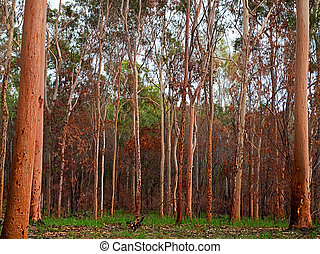 australiano, eucalipto, gumtree, bosque, después, bushfire