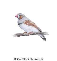 australiano, fondo., bird., bianco, isolato