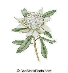 australiano, fondo., flower., bianco, isolato