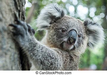 australiano, koala, sentar, ligado, árvore, sydney, nsw, australia., exoticas, ico