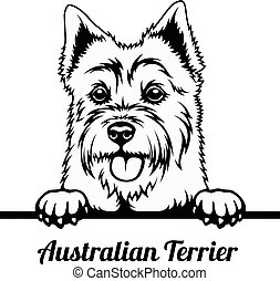 australiano, -, sbirciando, isolato, cane bianco, terrier, razza, testa