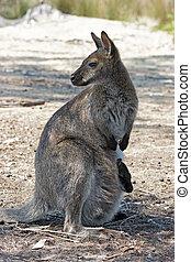 australie, bennett, wallaby