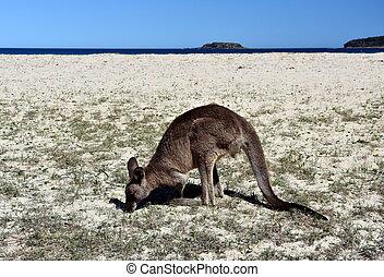 australie, oriental, closeup, caillouteux, giganteus), nsw, ...