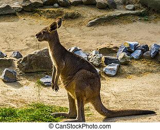 australien, östlig, grå, tropisk, känguru, stående, pungdjur