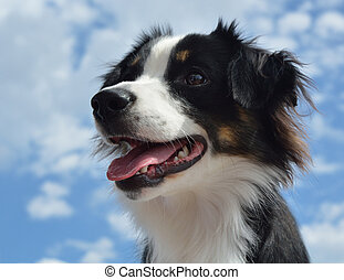 australien, (aussie), berger, chien