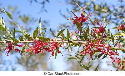 australien, fleurs, grevillea, splendour, rouges