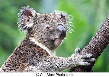 australien, koala