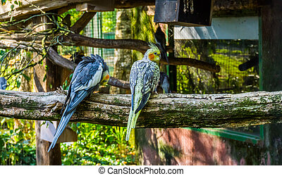 australien, siddende, to, aviary, tropisk, sammen, populære, branch, cockatiels, fugl, yndlinger