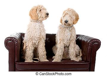 australische, zwei, labradoodle, hunden