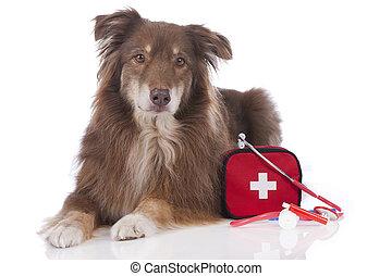 australischer schäferhund, hund, mit, erste-hilfe-ausrüstung