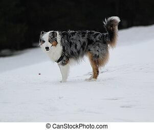 australischer schäferhund, in, der, schnee