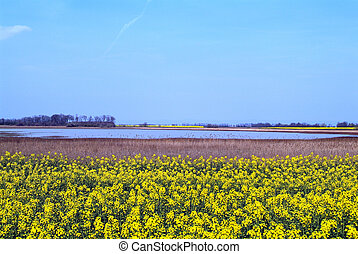 Austria, flowering rape field in Nationalpark Neusiedler See - Lange Lacke,