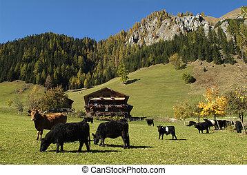 Austria, cattle on paddock in East Tyrol