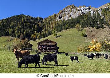 Austria, cattles on alpine pasture in Villgraten Valley in the Hohe Tauern national park in the Austrian Alps